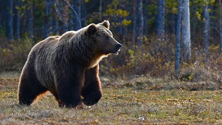 Медведь напал на туристов в Красноярском крае. Хищник задрал 16-летнего подростка